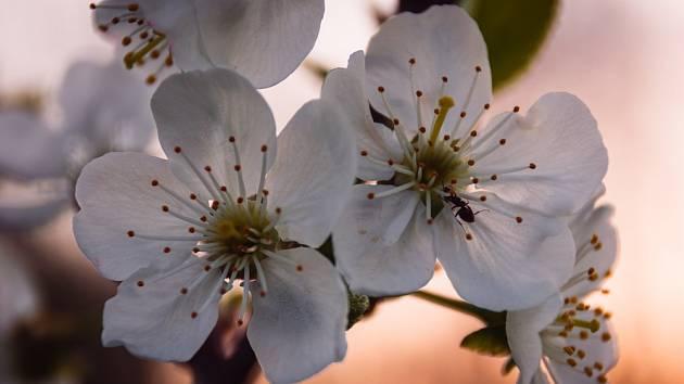 Mravenec na květu třešně.