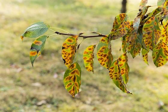 rez hrušňová (Gymnosporangium sabinae)