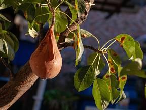 Deformovaný plod poškozený rzí hrušňovou