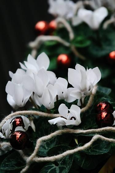 Sněhově bílý brambořík k Vánocům patří stejně jako ten červeně kvetoucí.