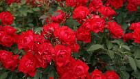 Mnohokvětá růže Black Forest Rose