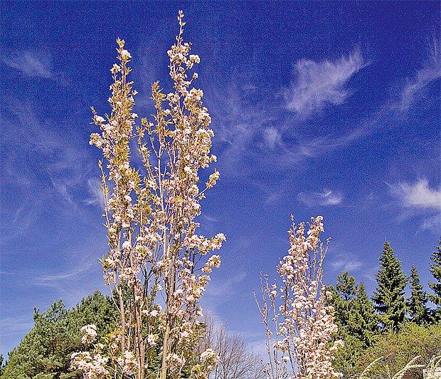 Odrůda Amanogawa vyniká na modré obloze jako elegantní svíce.