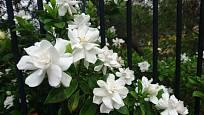 Gardénie okouzlují množstvím bílých květů.