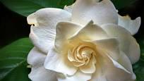 Gardénie jasmínovitá (Gardenia augusta)