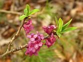 Lýkovec jedovatý (Daphne mezereum) kvete velmi časně na jaře.