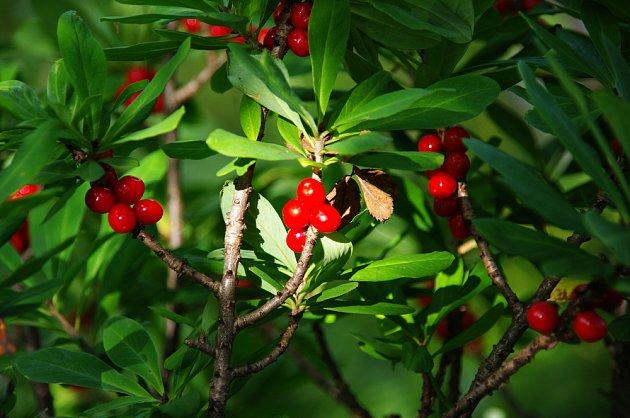 Lýkovec kvete brzy na jaře růžovými květy, plody má červené.