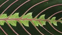 Maranta leuconeura tricolor