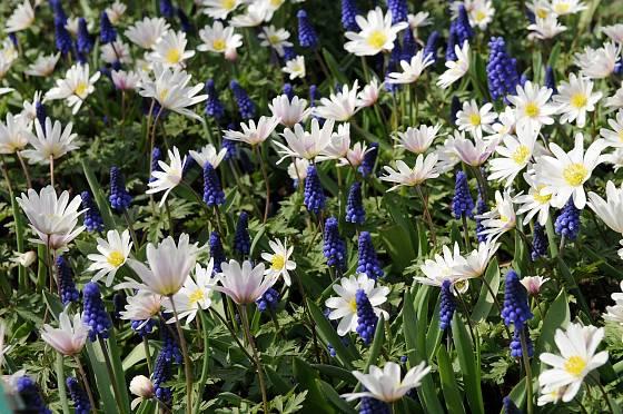 Modřence a sasanky (Muscari armeniacum, Anemone blanda 'White Splendour' )