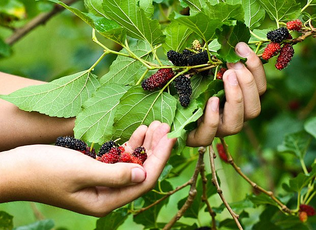 Moruše, nevšední ovoce výtečné chuti
