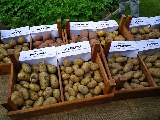Výběr odrůd brambor k pěstování je široký