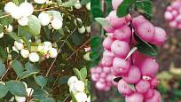 Pámelník bílý  (Symphorycarpus albus) a Pámelník červený ((Symphorycarpus orbiculus)