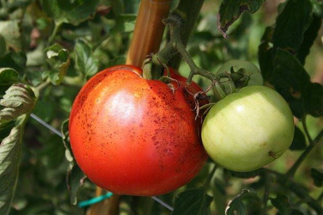 Rajčatům se daří nejlépe v polostínu