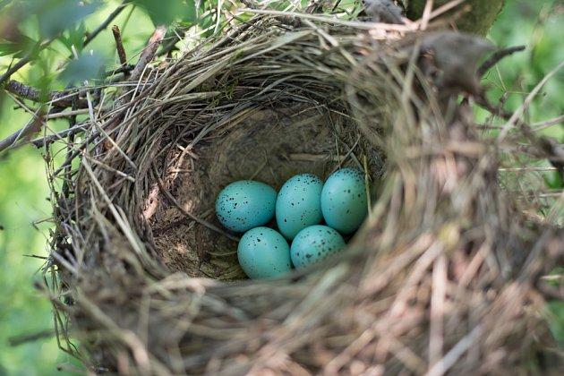 Drozd si hnízdo nevystýlá, ale kotlinku dohladka vymaže rozžvýkaným trouchnivým dřevem