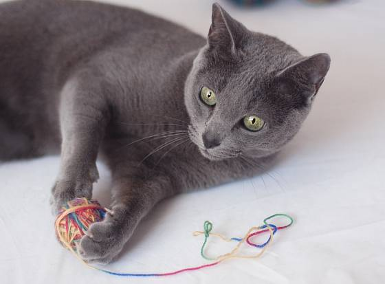 Ruská modrá kočka si ráda hraje.