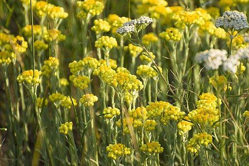 smil písečný (Helichrysum arenarium)