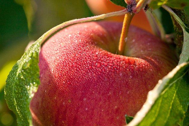 Během zrání jablko mění barvu
