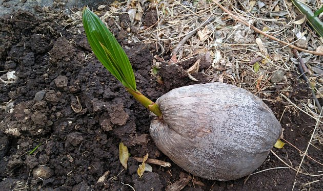 Klíčící kokosový ořech.