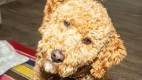 Labrador může mít i medově plavou barvu.