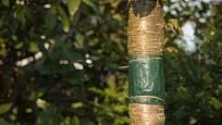 Lepový pás píďalkám zabrání v cestě do koruny stromu