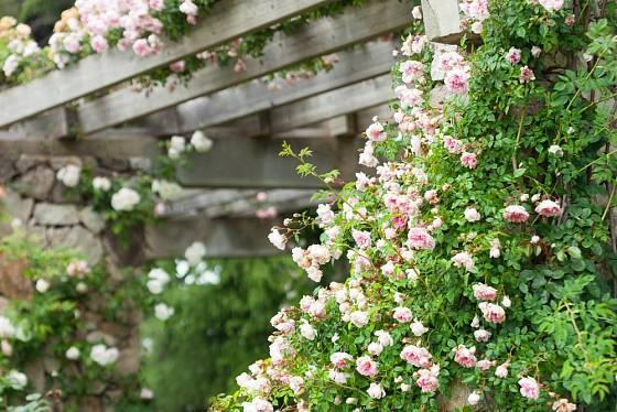 Díky růžím může pergola kvést i vonět