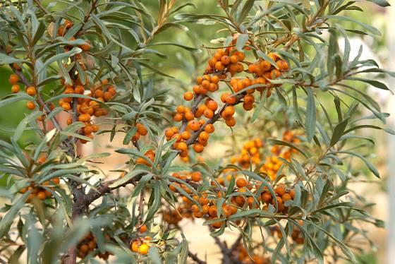 Plody rakytníku se ze stromů a keřů sklízejí, jakmile přejdou mrazem.