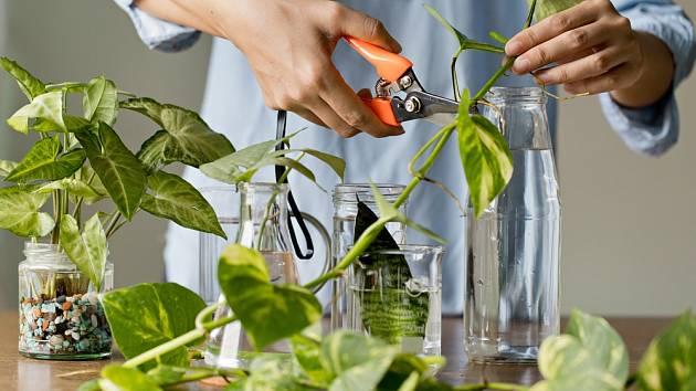 Oblíbenou metodou množení rostlin je řízkování