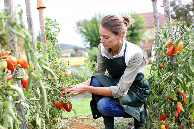 Aby rajčata pěkně dozrála, odstranují se stínící listy. Nesmí se to ale přehnat.
