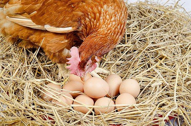 slepice na vejcích