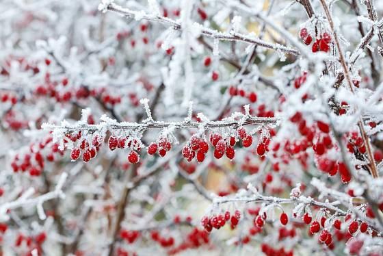 Plody dřišťálu jsou zralé v zimě