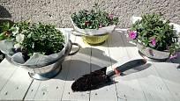 Kolem květin uložených v cedníku dosypeme zeminu a upěchujeme ji.