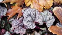 dlužicha odrůdy Silver Scrolls ve spadaném podzimním listí