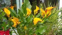 Kornoutice u nás pěstujeme jako pokojové rostliny.