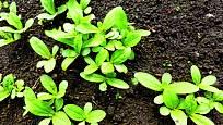 Měsíc po výsevu již měsíčky bujně rostou