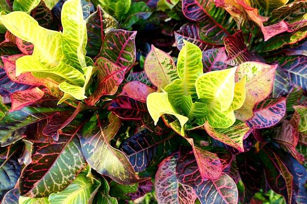 Kříženci a kultivary mají rozmanité tvary listů
