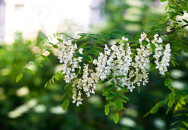kvetoucí akát