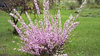 mandloň trojlaločná (Prunus triloba)