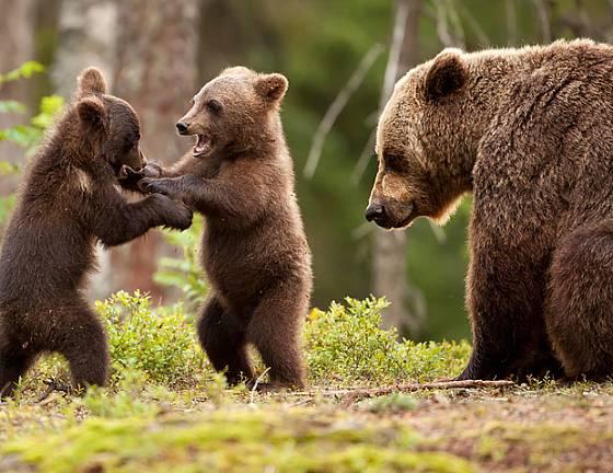 Medvědí hry