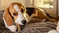 Žvýkací pamlsky prospívají psům při čištění zubů.