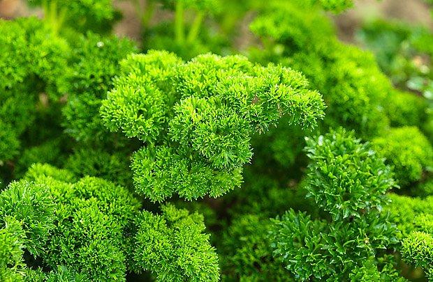 Voňavá petrželka, radost v kuchyni i na zahradě