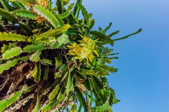Kvetoucí žlutá pitahaya - Hylocereus megalanthus.