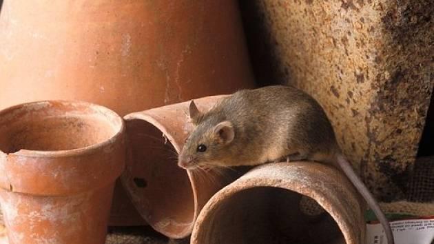 Myš domácí (latinsky Mus musculus)