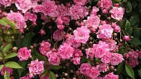 Růže Olivetská (Böhm, ČR, 1935). Bohatá květenství, málo ostnů, růžový květ asi5 cm; výška růže 3,5 m. Jednou kvetoucí