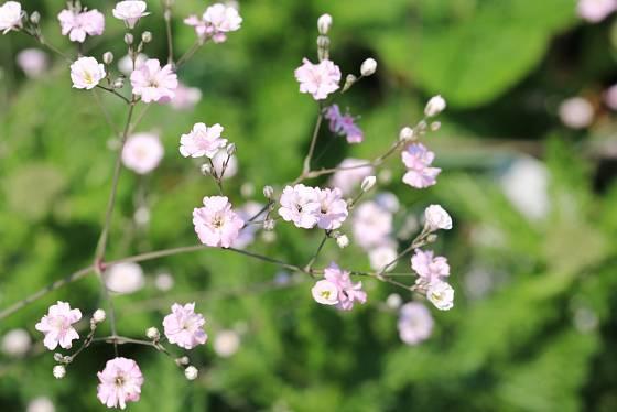 Šater latnatý (Gypsophila paniculata) známý jako nevěstin závoj.