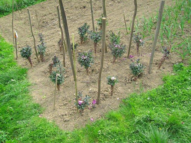 Semenný záhon krkonošské hlavatky