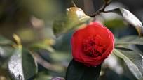Stálezelená kamélie v Ornamentální zahradě je ohrožena jarním mrazem.