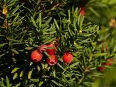 Tis červený (Taxus baccata) patří k prudce jedovatým keřům.