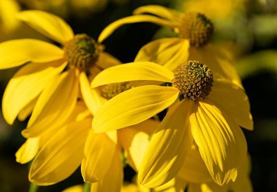 Třapatka lesklá (Rudbeckia nitida) patří mezi vysoké trvalky.