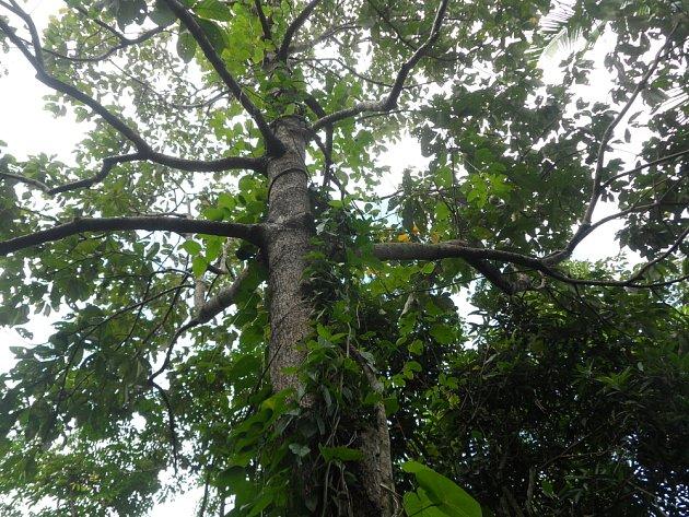Vavřín indický (Litsea glutinosa)