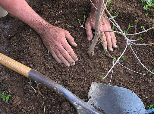 výsadba stromků