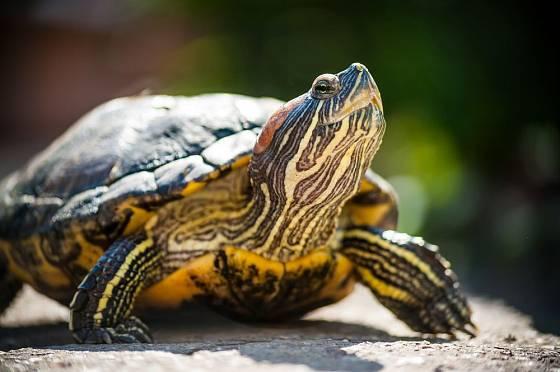 Želvy slunění milují a pro zachování zdraví ho nutně potřebují